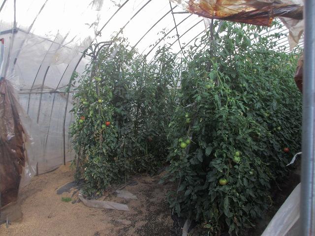 20130727宮坂農園トマト (7)