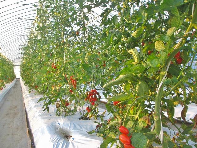 20130725篠原園芸のミニトマト開始 (5)