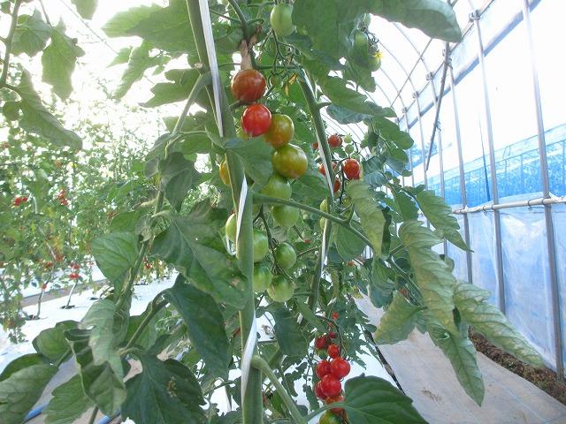 20130725篠原園芸のミニトマト開始 (33)
