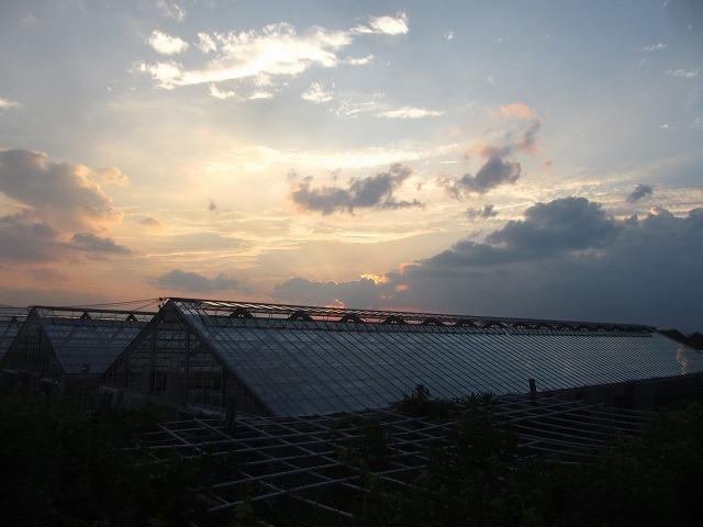 20130725篠原園芸のミニトマト開始 (37)