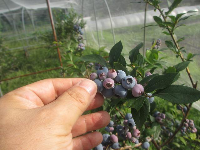 20130730渡辺農園のブルーベリー (2)