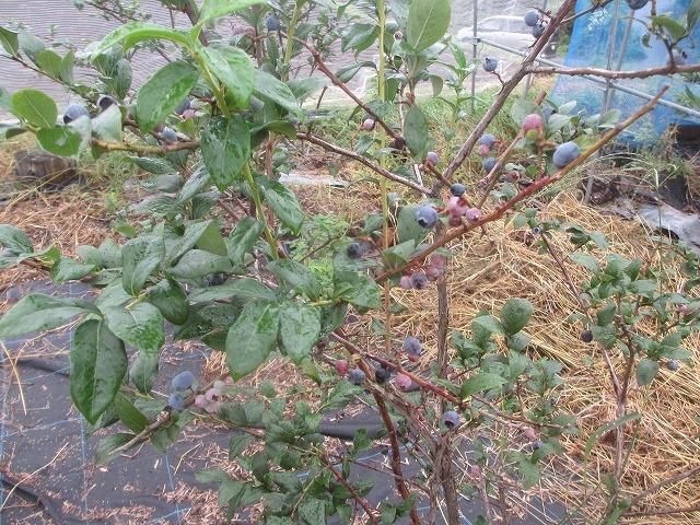 20130825渡辺さんの畑で枝豆 (2)