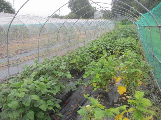 20130825渡辺さんの畑で枝豆 (3)