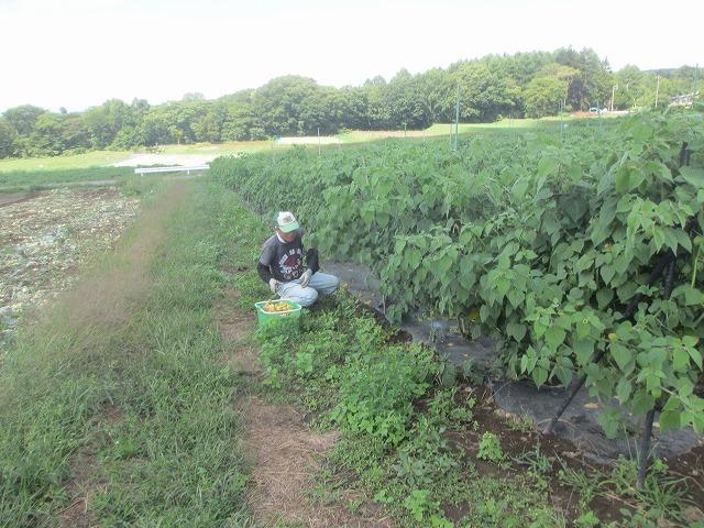 20130909バディアス農園収穫開始 (3)