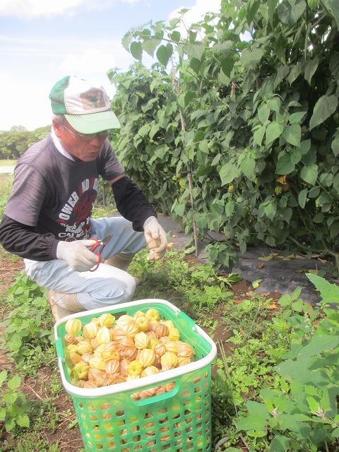 20130909バディアス農園収穫開始 (17)