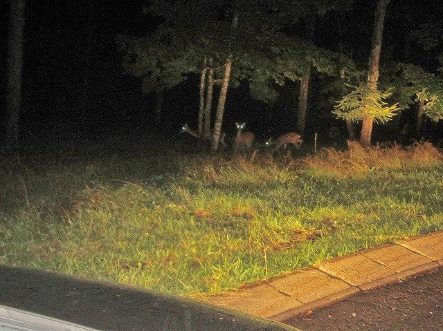 20130902夜の鹿 (2)