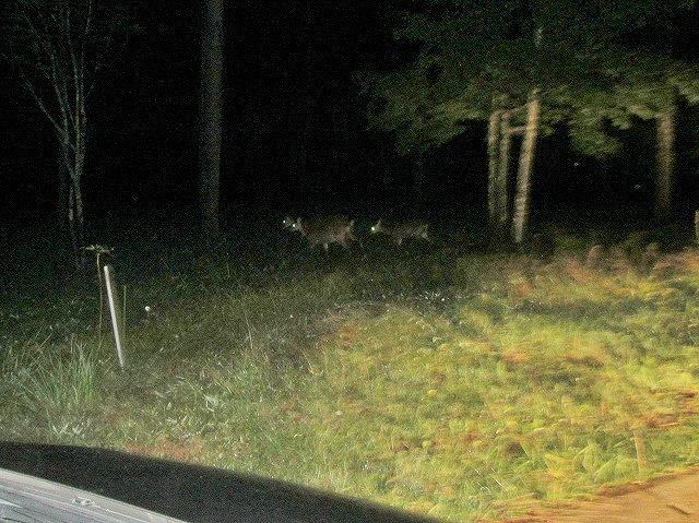 20130902夜の鹿 (3)