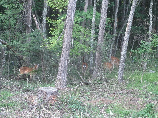20130903エクシブ前の鹿 (8)