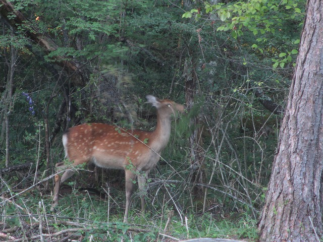20130903エクシブ前の鹿 (10)