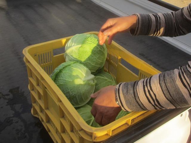 20131001キャベツみたいな白菜みたいな (2)