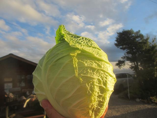 20131001キャベツみたいな白菜みたいな (6)