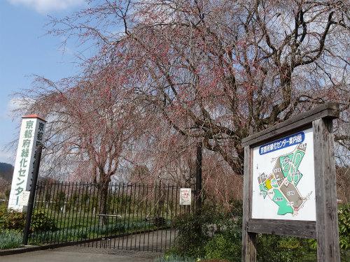 夜久野の枝垂桜 開花状況