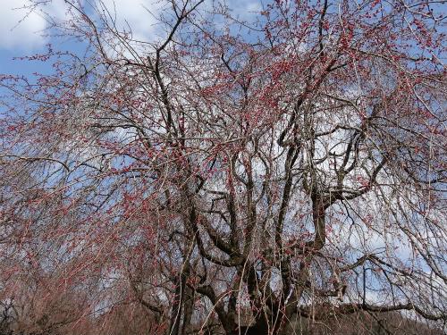 夜久野の枝垂桜 開花状