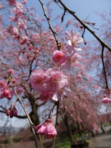 夜久野の枝垂桜