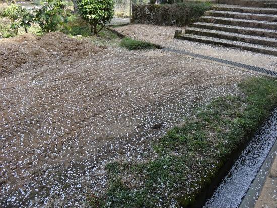 玉林寺の枝垂桜 もう舞い落ちだしています