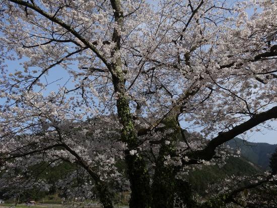 玉林寺の桜