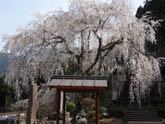 玉林寺の枝垂桜