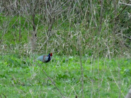 帰りには夫婦の雉を目撃! しかし ♀は草に隠れてしまいました。