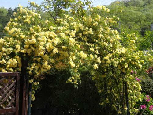 庭のモッコウバラ