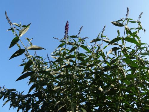 咲き始めたブッドレア