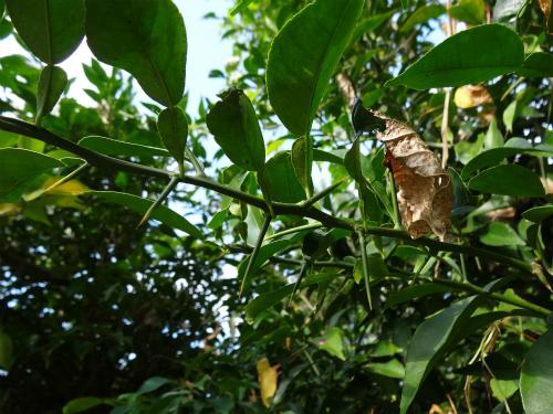 若い枝の棘