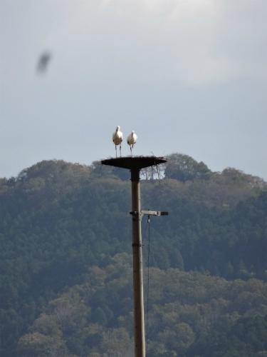 人工巣塔のコウノトリ2羽