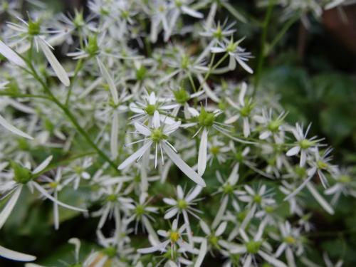 ダイモンジソウ 花期が長くて素敵な花です。