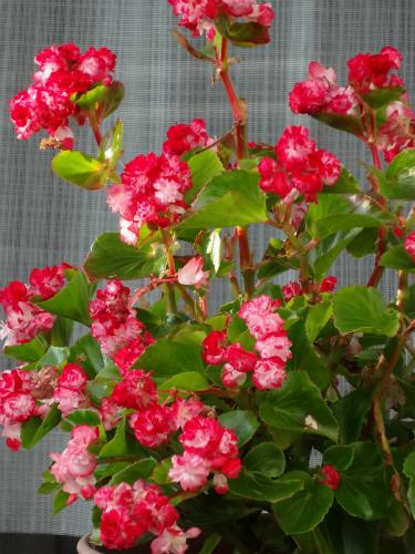 八重咲きベゴニア