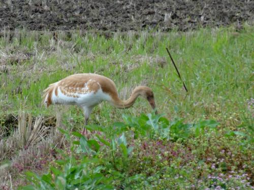 ソデグロヅルの幼鳥