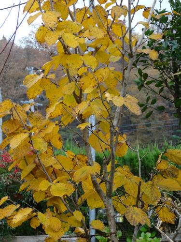 シナマンサクの黄葉