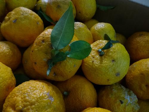 収穫した 柚子