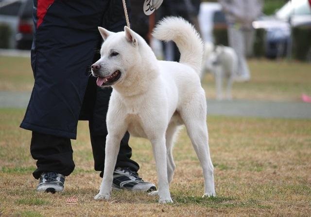 成犬組   滝の菊市号