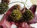 モミジバフウ種
