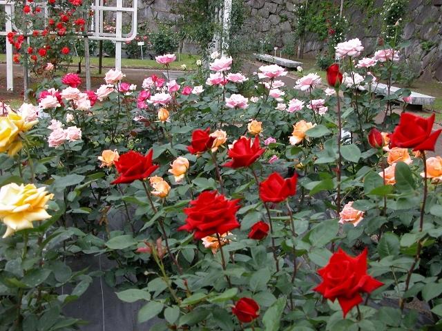 20100614-25バラ園① (800x600) (640x480)