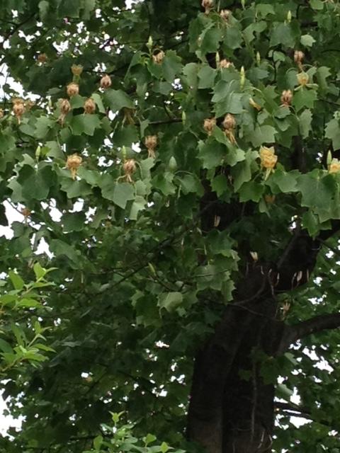 ハンテンボクの花