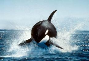 シャチってクジラ食べるのかよwwwwwwwwww