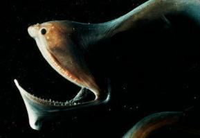 おまえらの好きな深海生物あげてけ