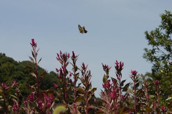 蝶々-5_R