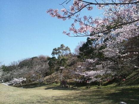 2013 桜 桜6