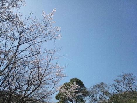 2013 桜 桜5
