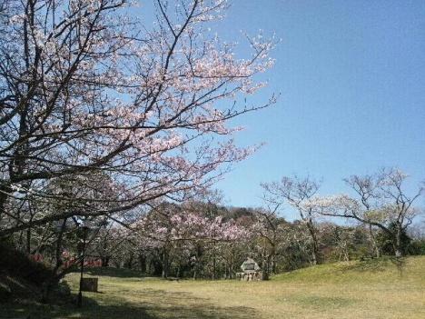2013 桜 桜4