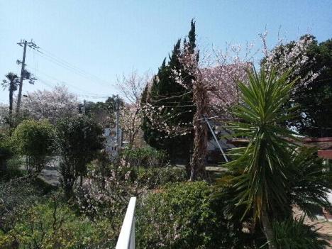 2013 桜 桜3