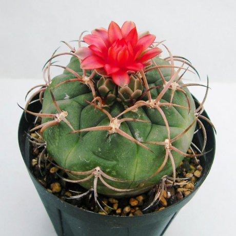 Sany0151--carminanthum v montanum--SL 35a--Piltz seed 5210--ex Milena