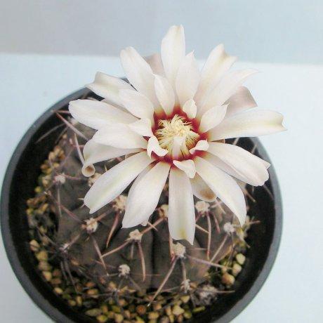 Sany0081--ochoterenae--GN 207-578--Piltz seed 3193