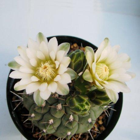 Sany0204--ochoterenae--LB 367--Piltz seed 5170--ex Milena