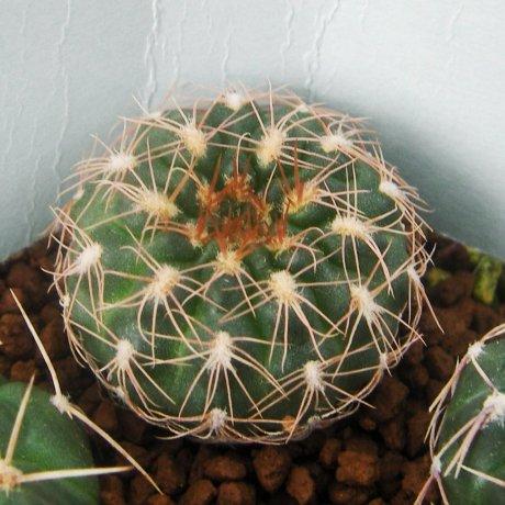 Sany0077--parvulum ssp huettneri--Tom 268.2--4 km N of San Pedro Norte Sobremonte Cordoba--Eden 21941