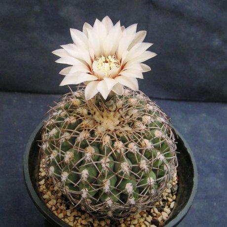 Sany0051-G. ochoterenae v. herbsthoferianum-LB 386-Piltz seed 3525
