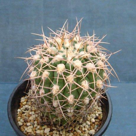 Sany0049--ochoterenae v herbsthoferianum--LB 386--mesa seed 476.943--ex kousen en