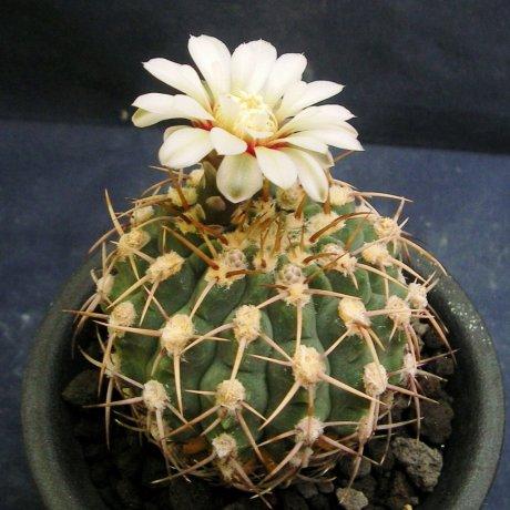 Sany0128-ochoterenai v .herbsthoferianum-Piltz seed 3425