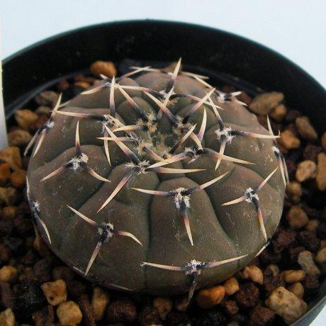 Sany0086--platygonum--JO 455--Salinas Grandes--Eden 17513